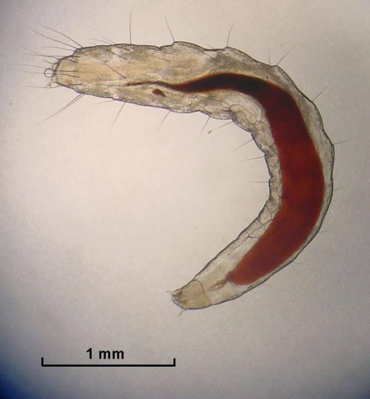 Личинка блохи под микроскопом фото