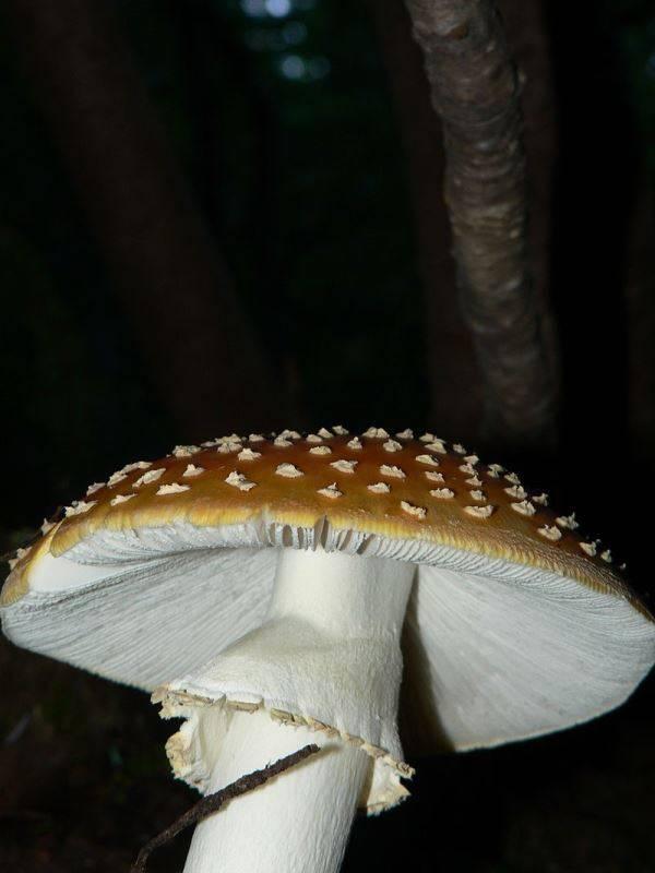 Мухомор Amanita muscaria var. flavivolvata