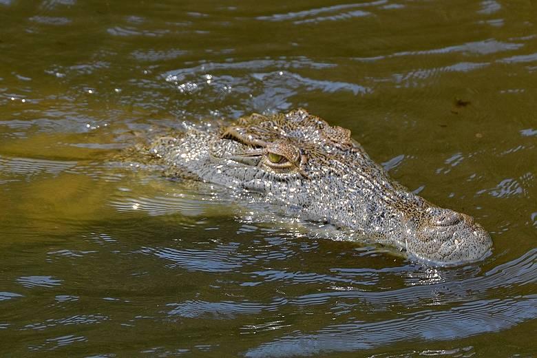 Нильский крокодил плывет фото