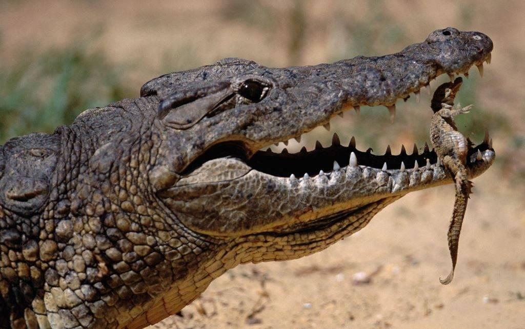 Новорожденный нильский крокодил фото