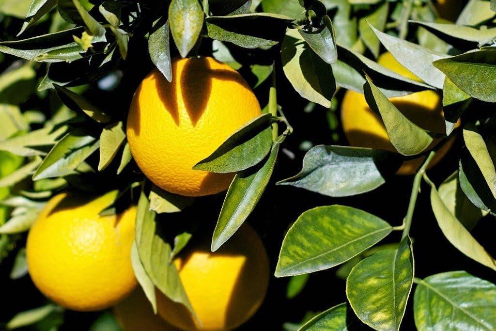 Пожелтение и опадание листьев апельсина фото