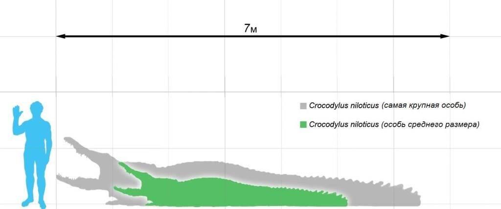 Размеры нильского крокодила и человека фото