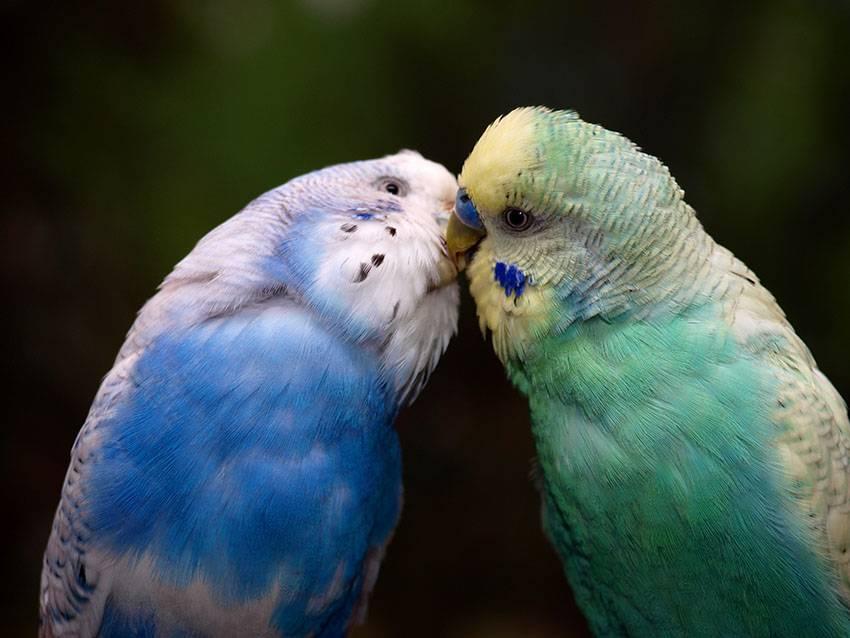 Размножение волнистых попугаев фото