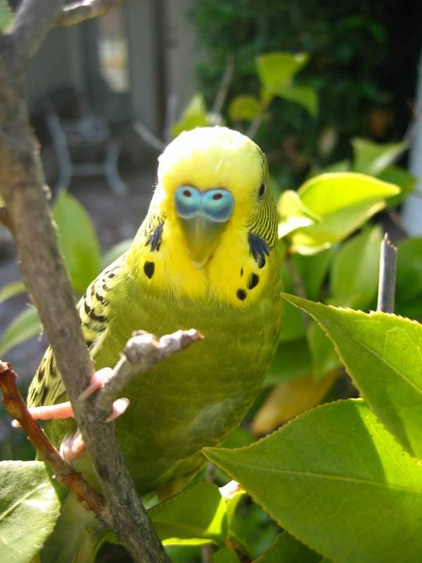 Разновидность волнистых попугаев оливкового цвета фото