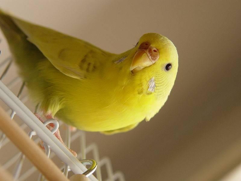 Самки волнистых попугаев фото