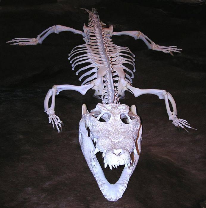 Скелет нильского крокодила фото