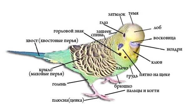 Строение волнистого попугая фото