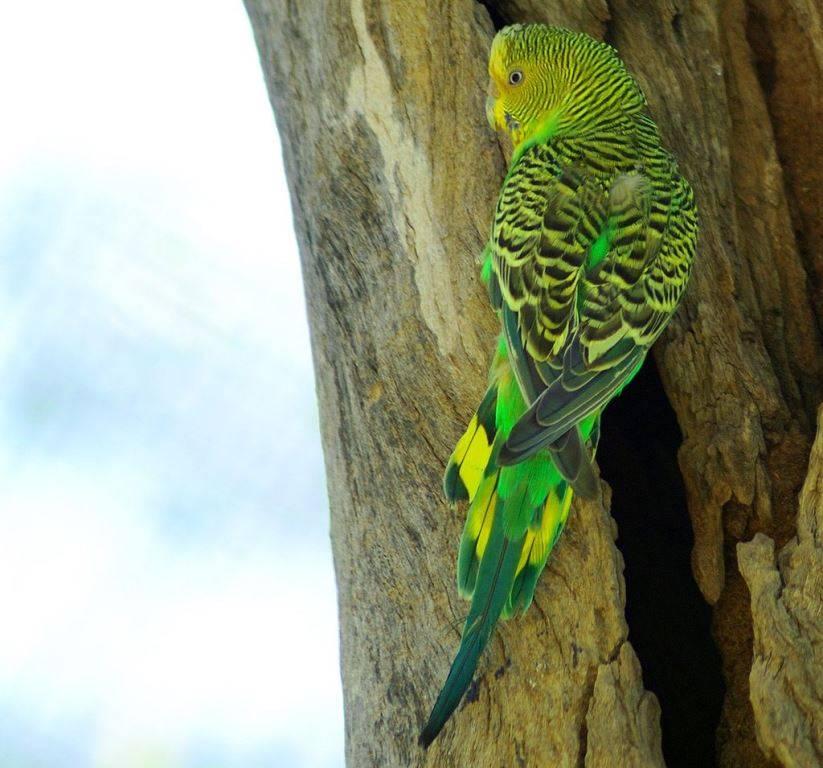 Хвост волнистого попугая фото