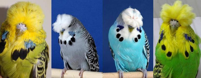 Хохлатый волнистый попугайчик фото