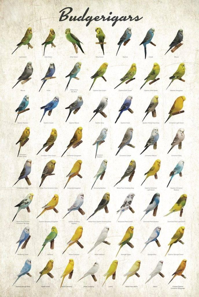 Цвета волнистых попугаев фото