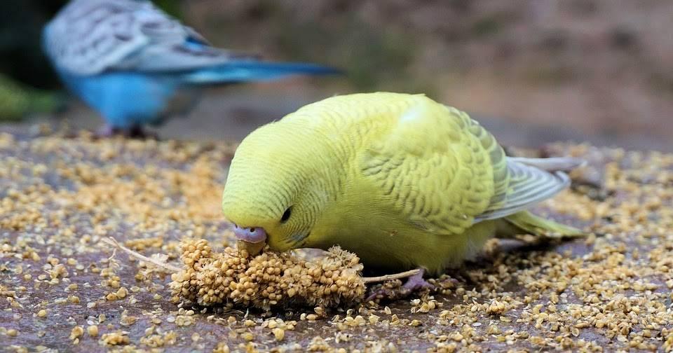 Чем питается волнистый попугай фото