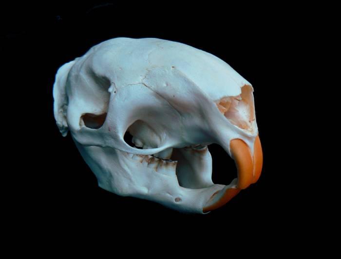 Череп и зубы дикобраза фото (вид - Hystrix javanica)