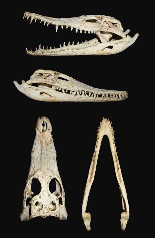 Череп нильского крокодила фото