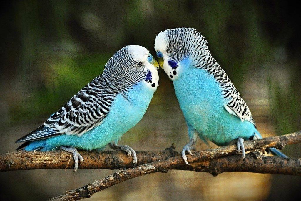 Щеки волнистого попугая фото