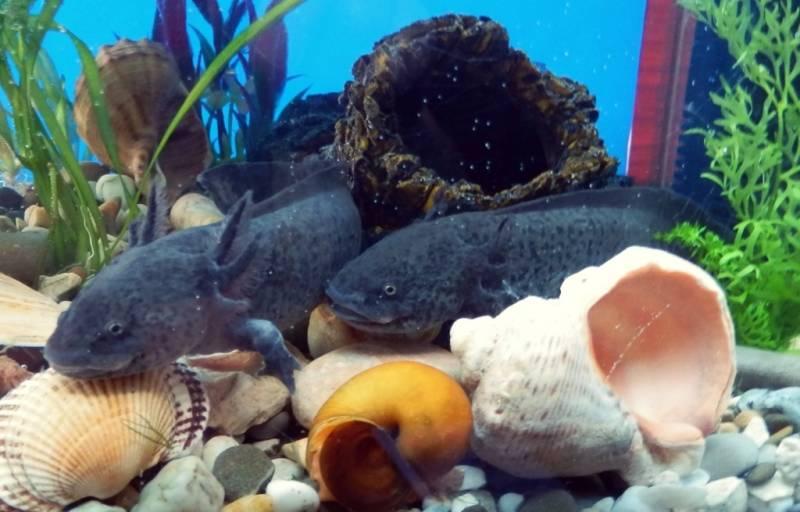 Аксолотль в аквариуме фото