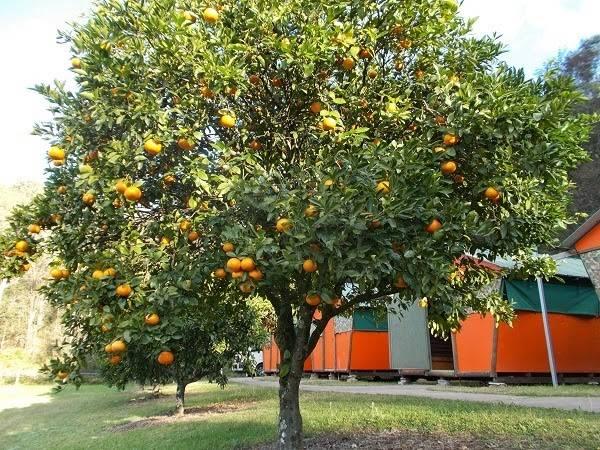 Апельсин дерево фото