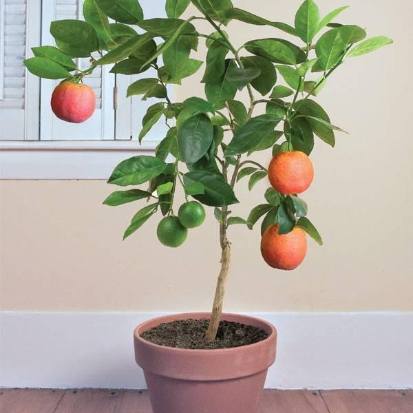 Апельсин домашний фото