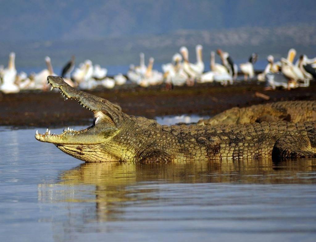 Большой нильский крокодил фото