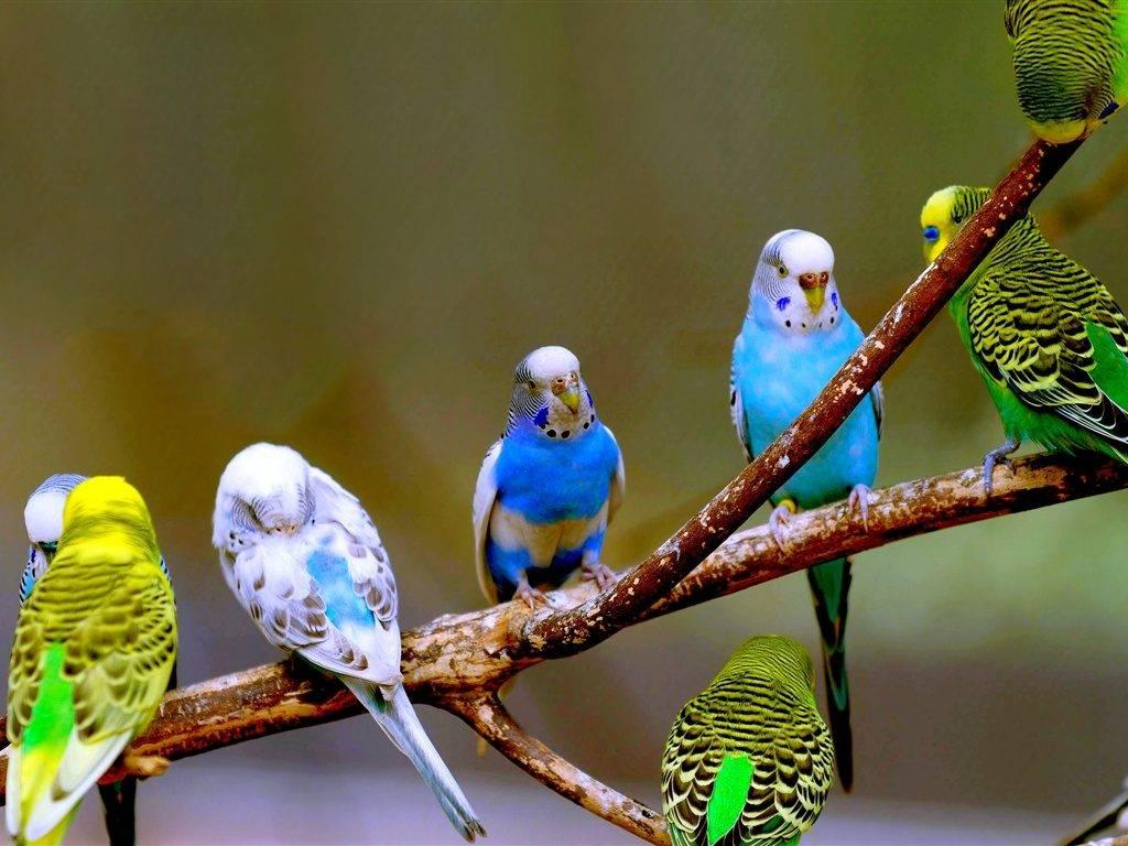 Волнистые попугайчики фото