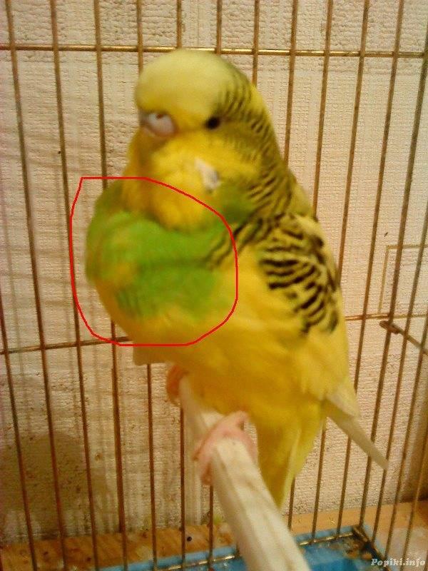 Воспаление зоба у волнистого попугая фото