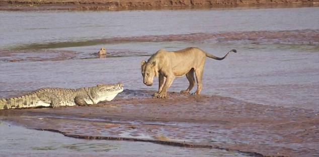 Враги нильского крокодила фото