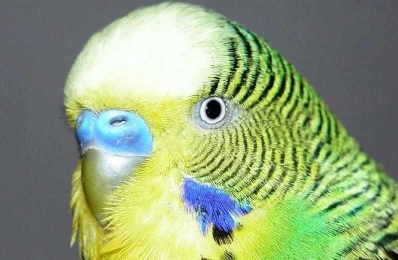 Глаза волнистого попугая фото