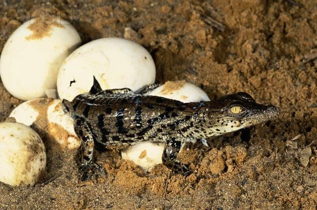 Гнездо нильского крокодила фото