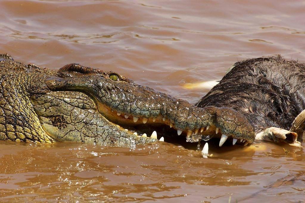 Добыча нильского крокодила фото