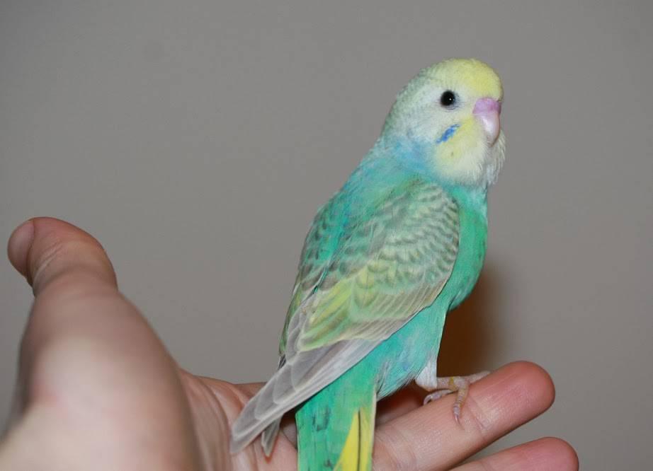 Домашний волнистый попугай фото