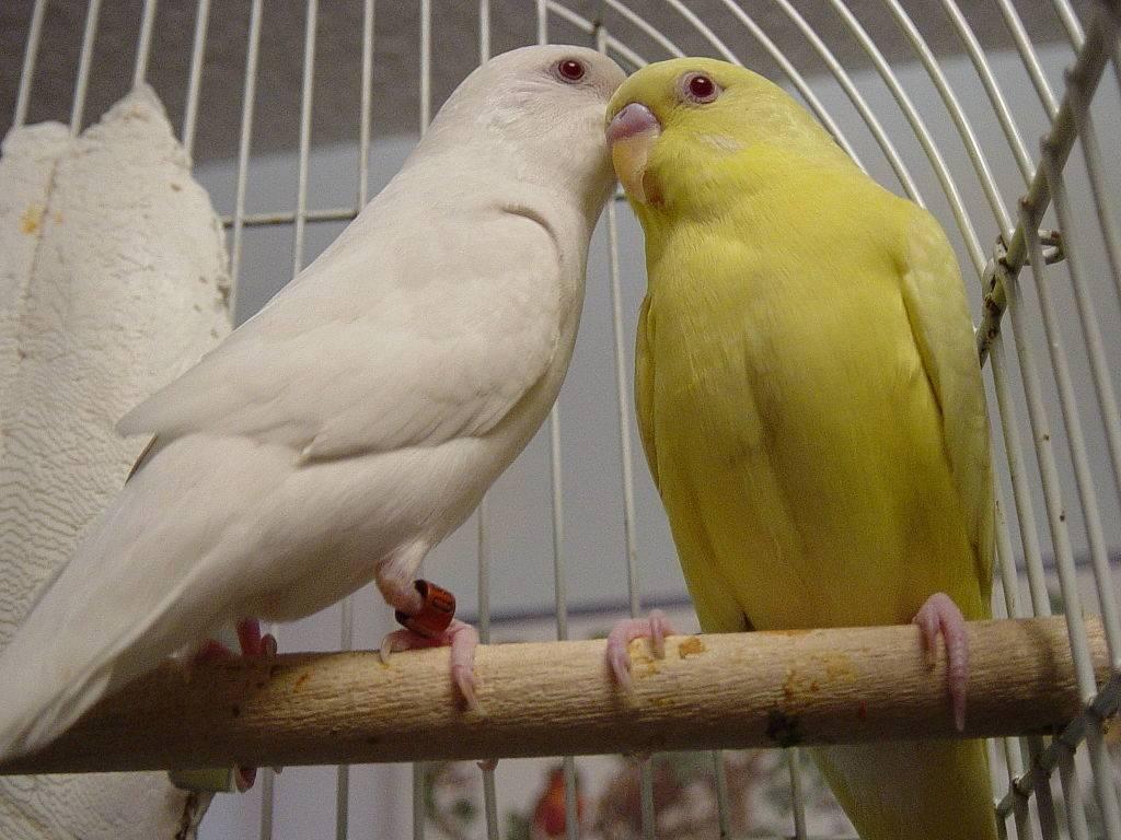 Желтый волнистый попугай лютинос фото