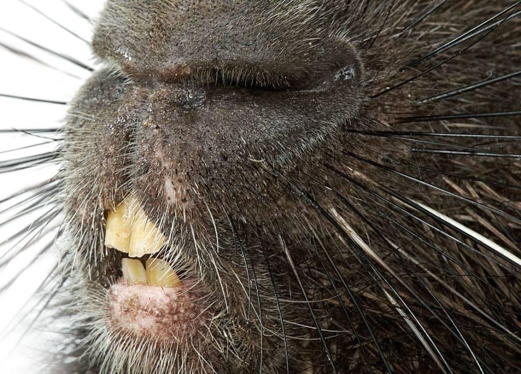 Зубы дикобраза фото