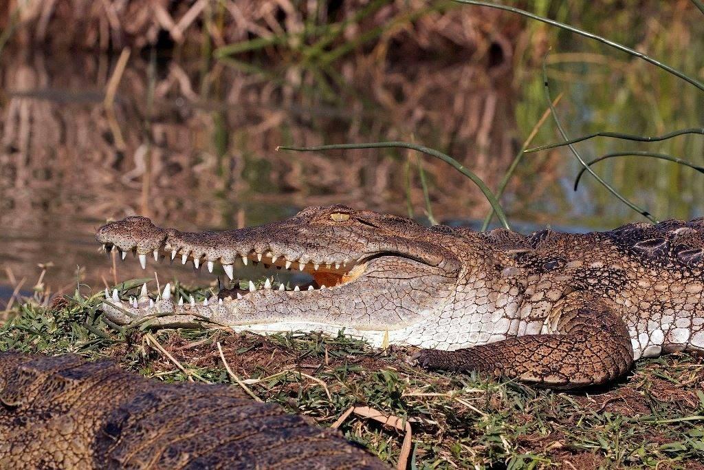 Зубы нильского крокодила фото