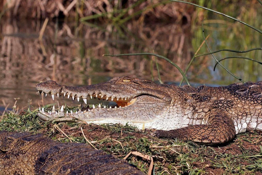Крокодила зубы фото