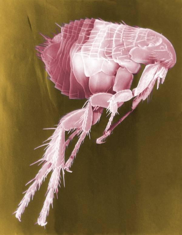 Изображение блохи в искусственных цветах, сделанное с помощью РЭМ