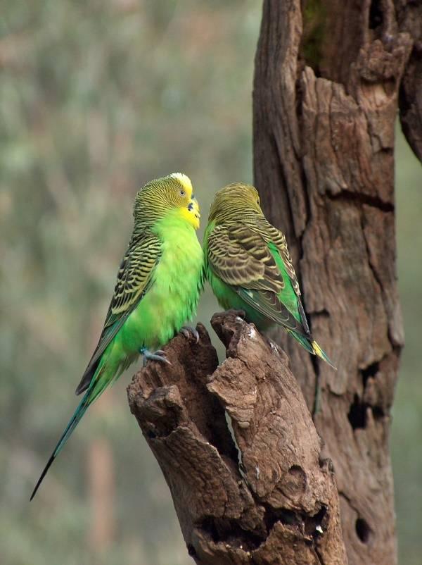 Как выглядит волнистый попугай фото