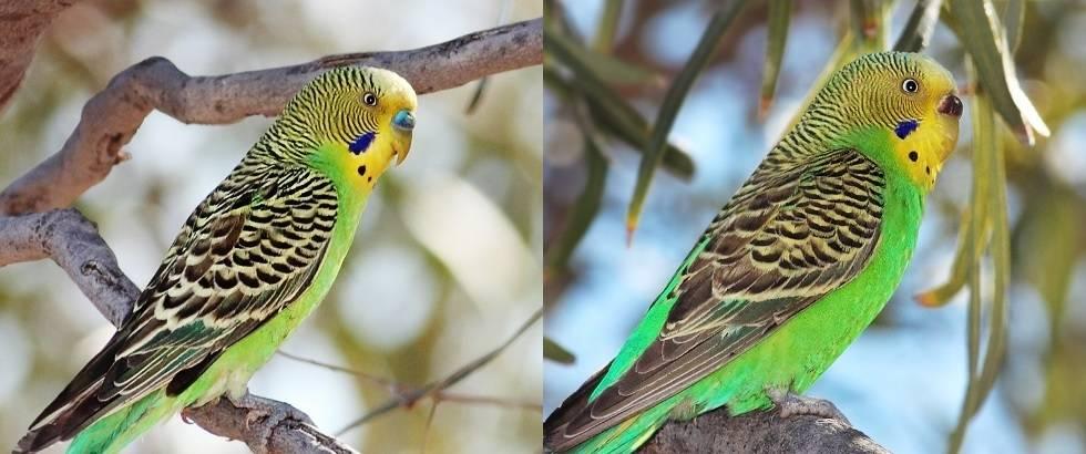 Как определить пол волнистого попугая фото
