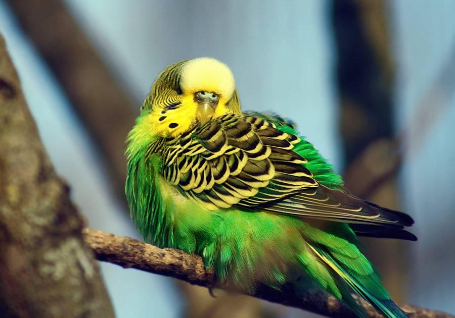 Как спят волнистые попугаи фото