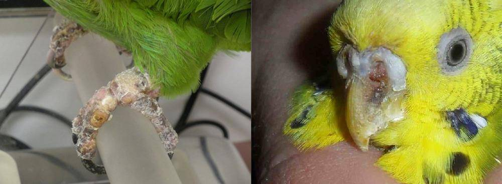 Кнемидокоптоз (чесоточный клещ) у волнистого попугая фото