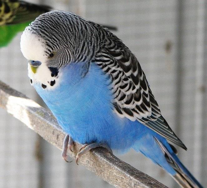 Кобальтовый волнистый попугай фото