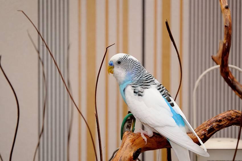 Красивый волнистый попугай фото