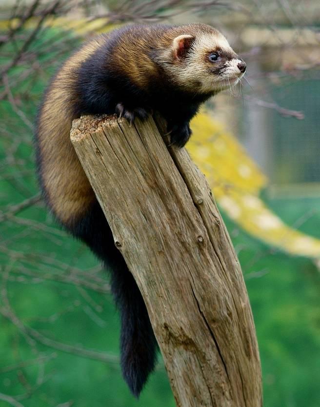 Лесной хорек (обыкновенный хорек, черный хорек) фото (лат. Mustela putorius)