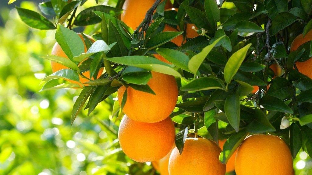 Листья апельсина фото