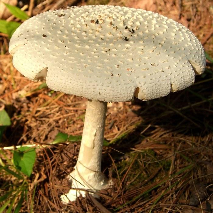 Мухомор Amanita muscaria var. alba фото
