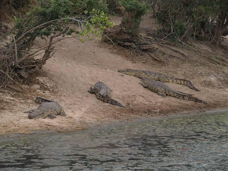 Нильские крокодилы фото