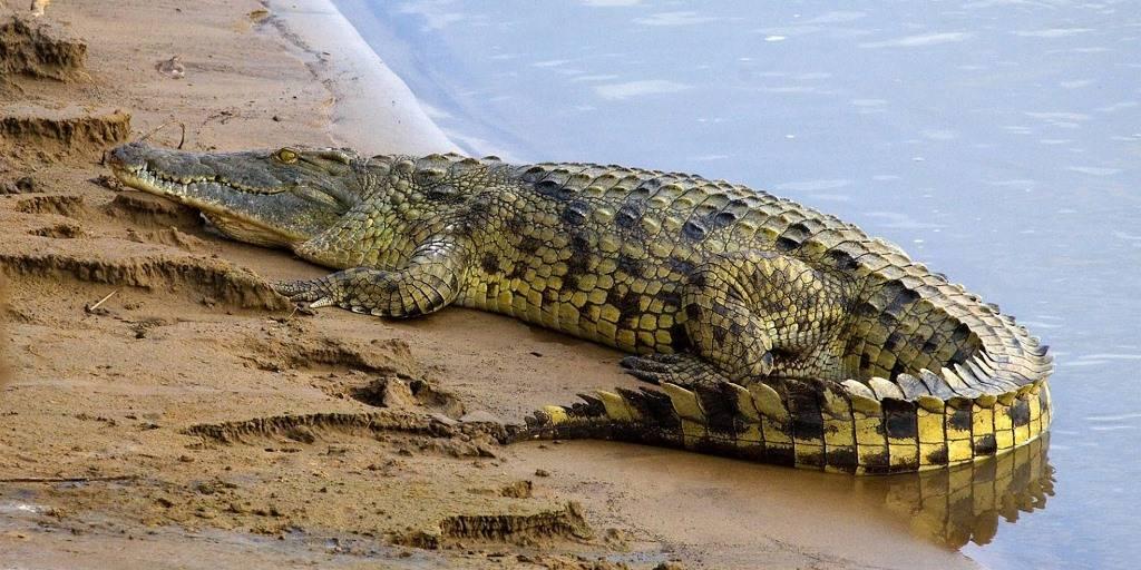 крокодил живет в африке