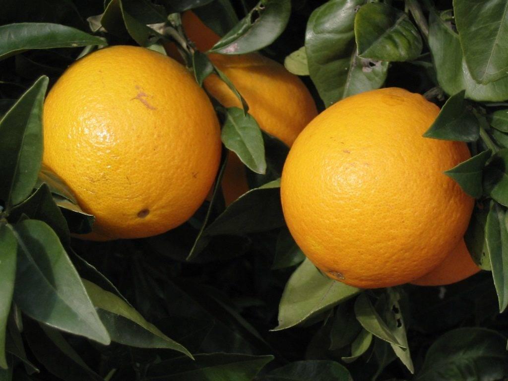 Плод апельсина фото