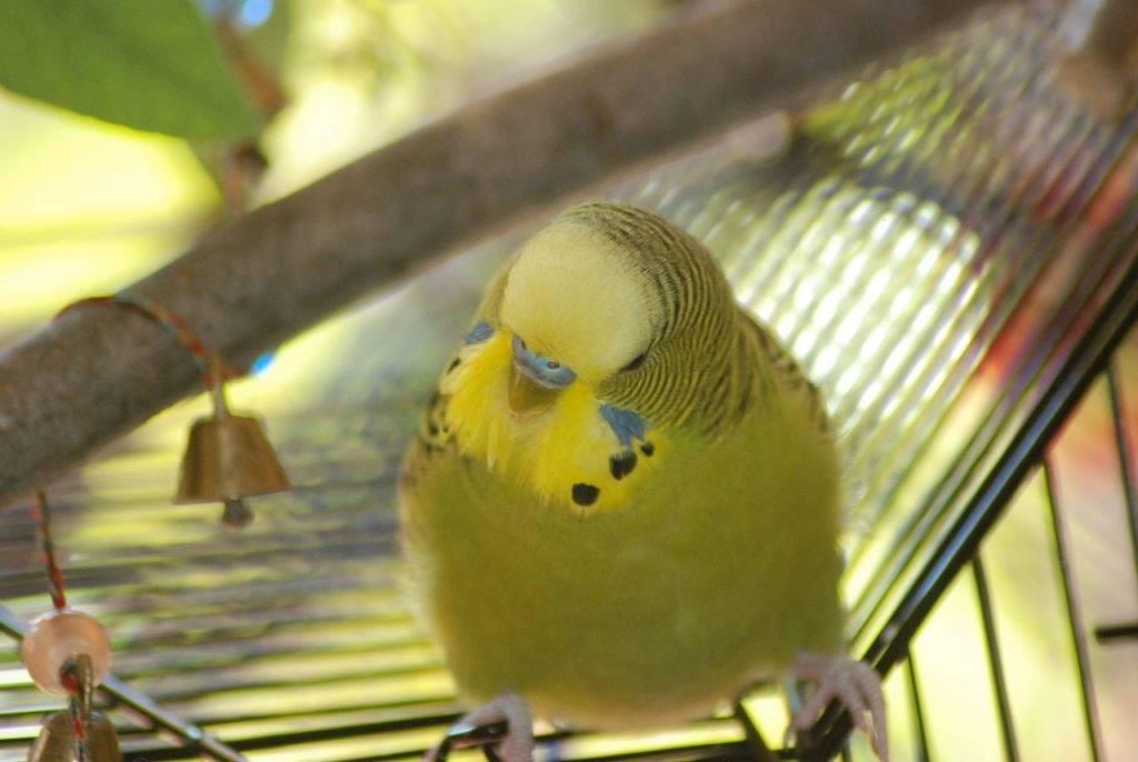 Серо-зеленый волнистый попугай фото