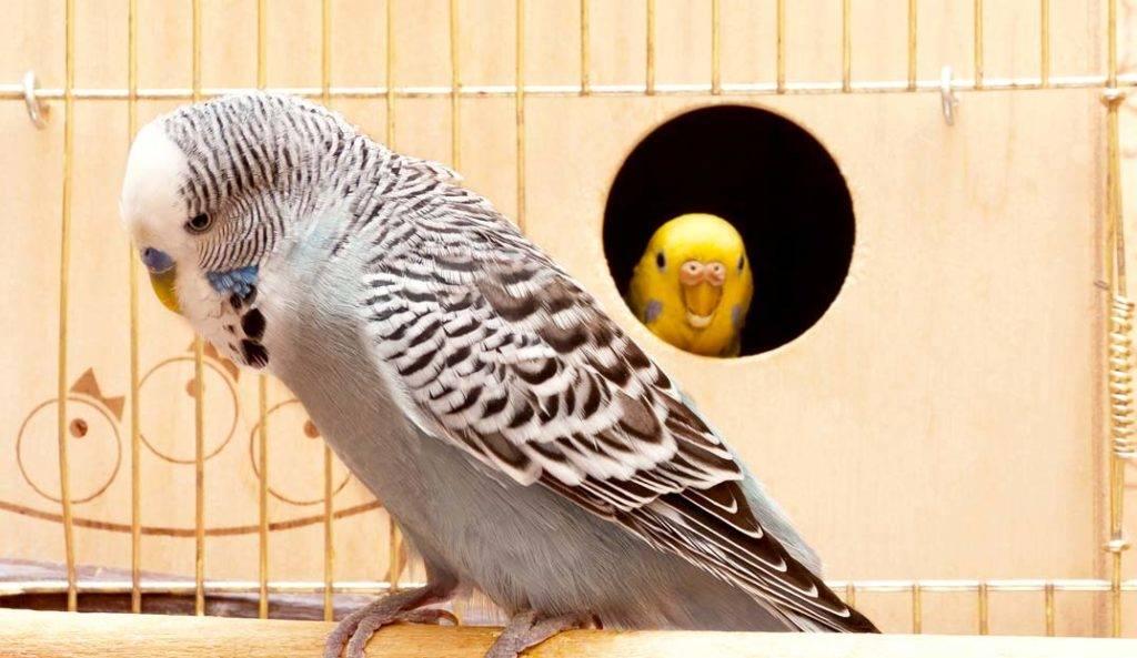Серый волнистый попугай фото