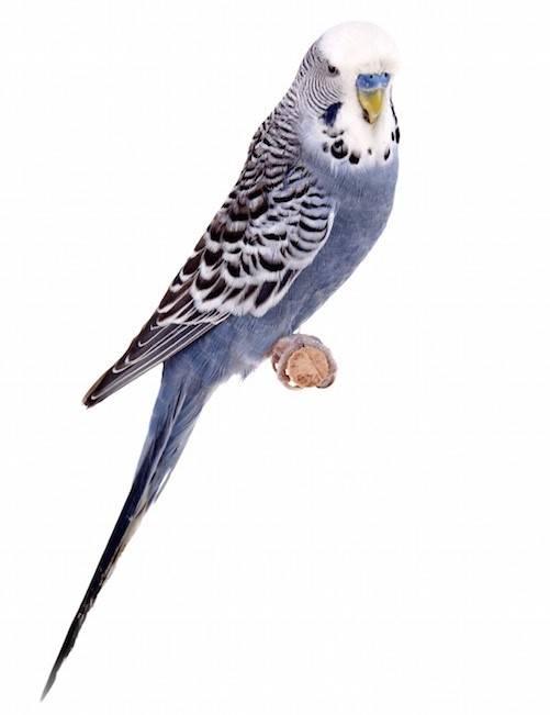 Сиреневый волнистый попугай фото