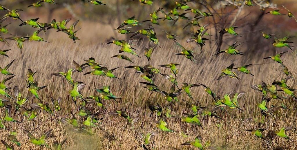 Стая волнистых попугаев фото